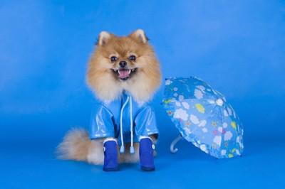 ポメラニアン、服・靴・傘、青い背景