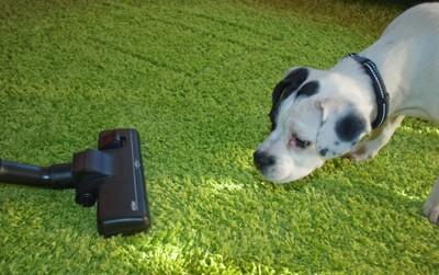 掃除機に向かって威嚇する犬