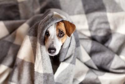 毛布に包まれて顔だけを出す犬