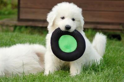 遊ぶグレートピレニーズの子犬