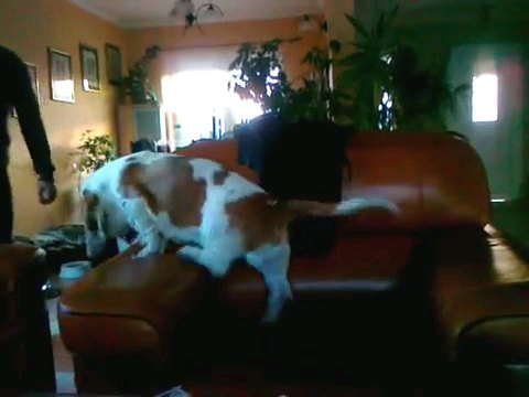 茶色のソファーに乗る犬