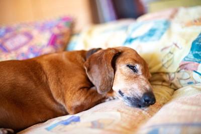 ベッドで眠るシニアのダックスフンド