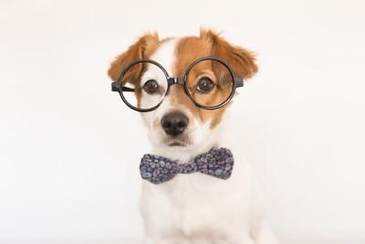 メガネに蝶ネクタイ姿の犬