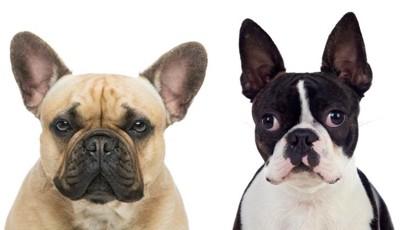 フレンチブルドッグとボストンテリアは似て非なる犬種