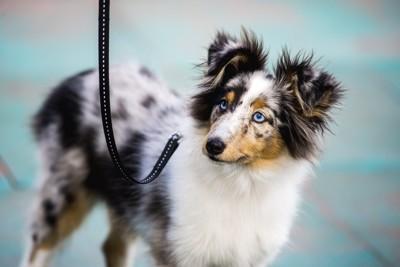 目が水色の犬