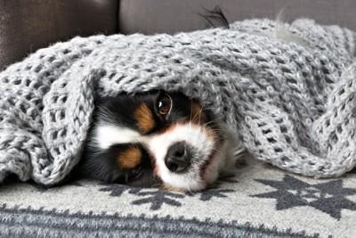 毛布に包まれている犬