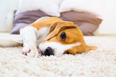 カーペットに寝転ぶ犬