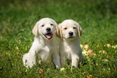 芝生の上にいる2匹の子犬