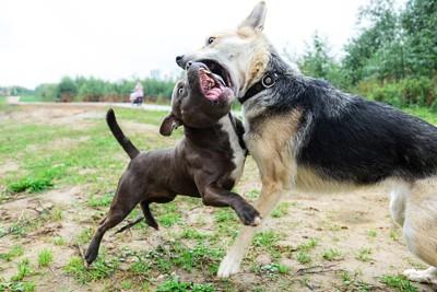 犬歯剥き出しで喧嘩する犬