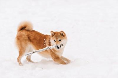 雪の中で枝をくわえて遊ぶ柴犬