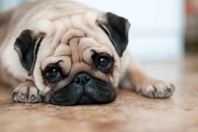 悲しげな表情でフセをするパグ