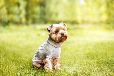 芝生に座る服を着た犬