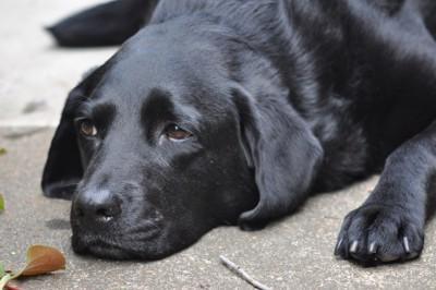 悲しそうにフセしている犬