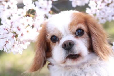 桜を背景にこちらを見つめている老犬