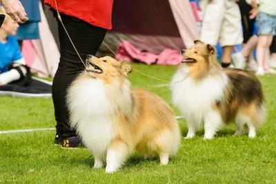並んだ2頭のシェットランドシープドッグ