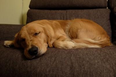 寝そべるゴールデンレトリーバー