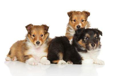 3匹のシェットランドシープドッグの幼犬