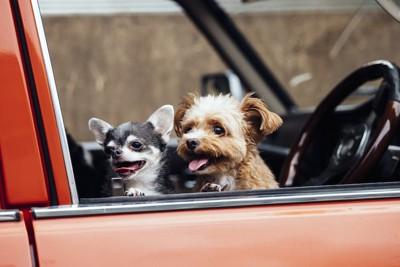 車に乗っているチワワとトイプードル