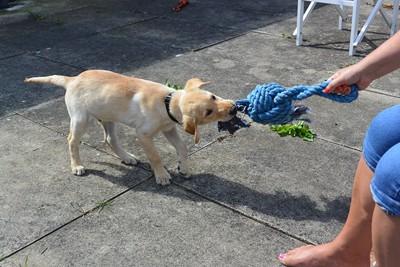 おもちゃの引っ張り合いをする犬