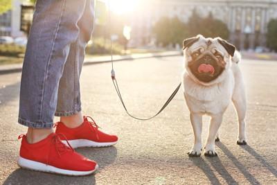 舌を出すパグと赤いスニーカーの人