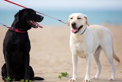 砂浜に立つレトリバー犬