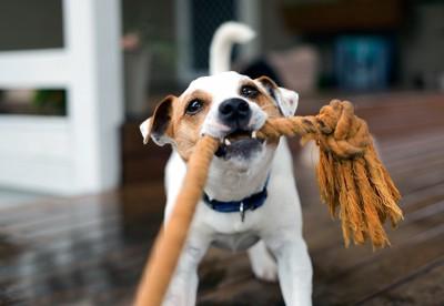 飼い主とロープの引っ張りっこする犬