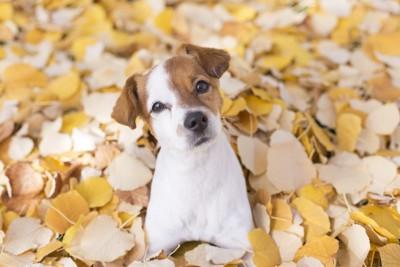 黄色い落ち葉の中の犬