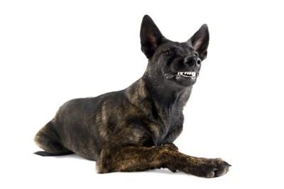歯をむき出す犬