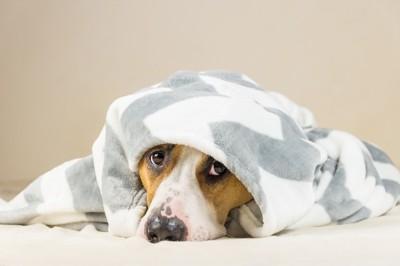タオルを被った犬