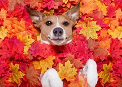 紅葉に埋もれている犬