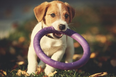 輪のおもちゃをくわえた子犬