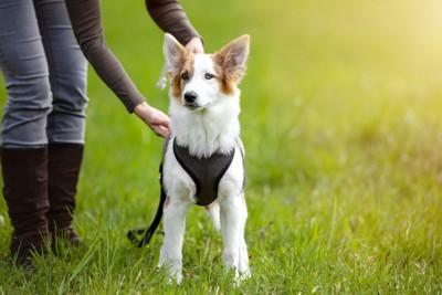 飼い主にハーネスを装着させられている犬