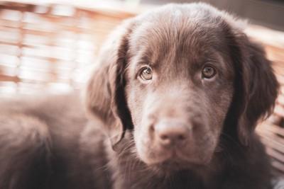 フラットコーテッドレトリバーの子犬