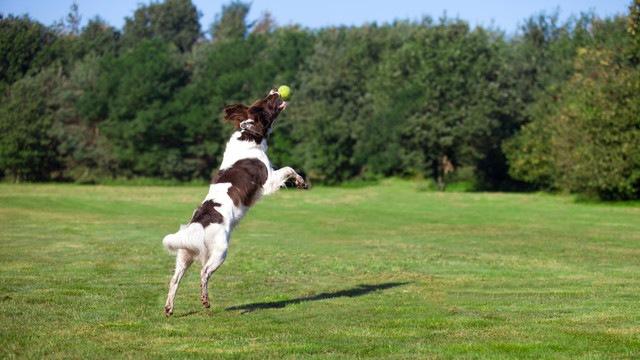 ボールを取る犬
