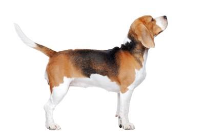 凛々しい立ち姿のビーグル犬