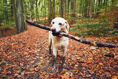 長い棒をくわえる犬