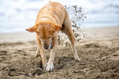 砂が後ろに飛ぶほど勢いよく地面を掘るラブラドール