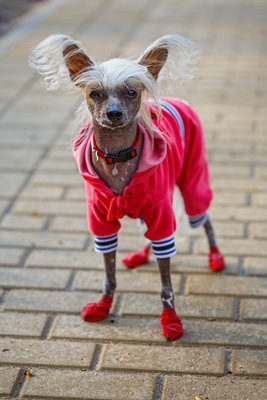 Image result for 犬  chinese crested 私の靴と