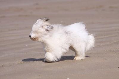 風に吹かれて砂浜を歩く長毛の犬