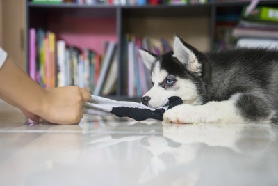 靴下を引っ張る犬