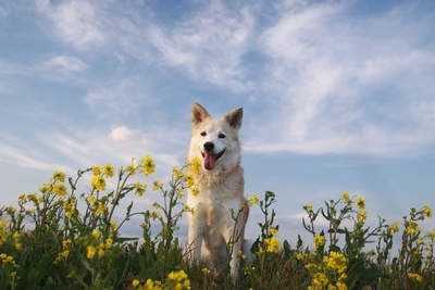 笑顔の犬と菜の花