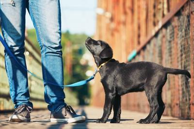 散歩中に飼い主を見つめる黒い犬