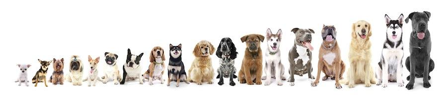 トイから超大型まで18匹の犬