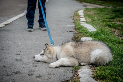 散歩中に立ち止まってしまったハスキーの子犬