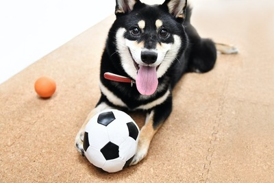 床の上で笑顔の犬とボール