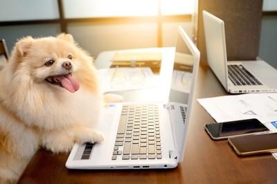 パソコンの画面を見るポメラニアン