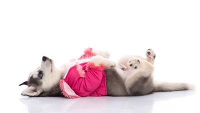 服を着て仰向けに寝転がるハスキー犬のパピー