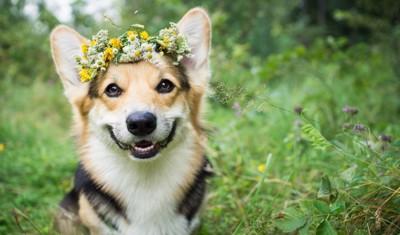 笑顔で花冠をつける犬