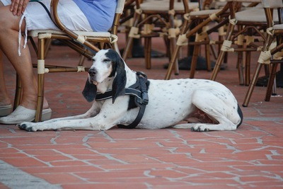 飼い主がお茶を飲むのを伏せをして待つ犬