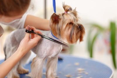 毛をカットされる犬